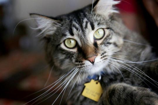 Stark the Cat competes for Hambone Award