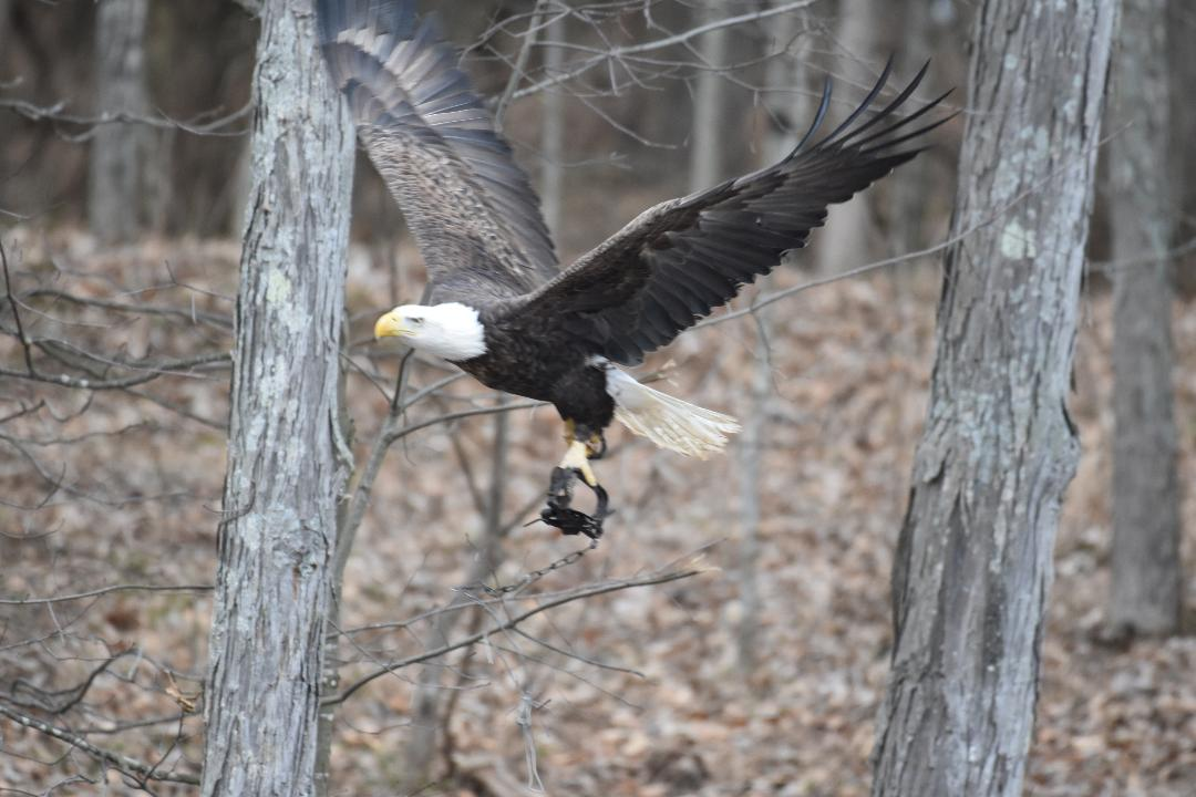 A Bonneauville Borough resident spotted a bald eagle with a trap clamped down on its talons on Sunday afternoon, setting off a social media fervor. 