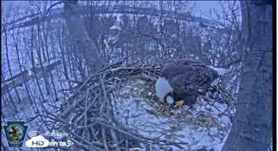The Hanover eagle appears to have laid its first egg of the season on Feb. 10, 2017 around 5:46 p.m.