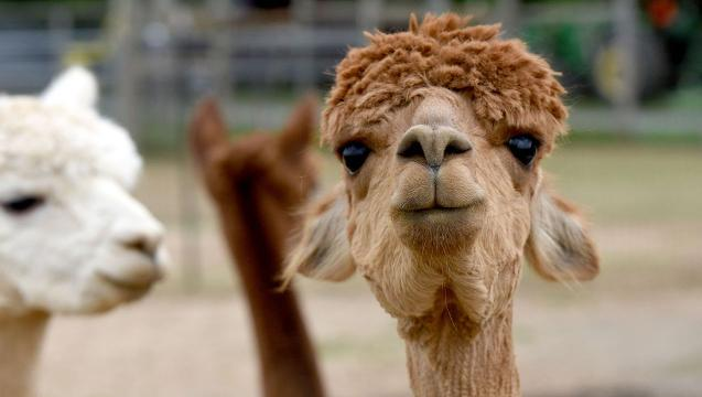 Watch: Six things you probably didn't know about alpacas