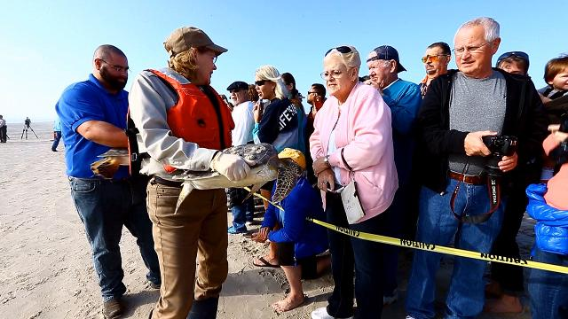 84 green turtles were released in to the Gulf of Mexico at Padre Island National Seashore
