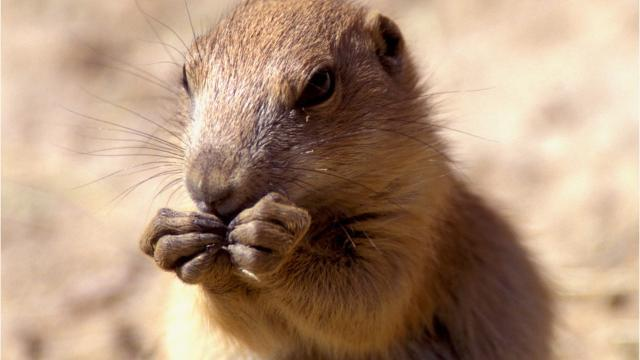 5 FAST FACTS ABOUT PRAIRIE DOGS