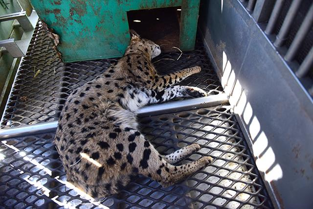 Paterson Control Officers capture what they believe to be an F1 Savannah Cat in the backyard of a home on Mill St.