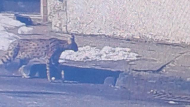 F1 Savannah Cat gets loose in Paterson