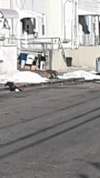 A bobcat was seen on Mill Street in Paterson Thursday, March 23, 2017.