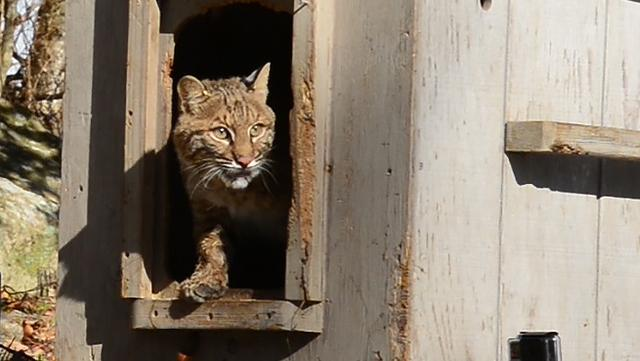 The release of a young bobcat that had been rehabilitated from a serious leg injury after being struck by a car late last year in Passaic County.