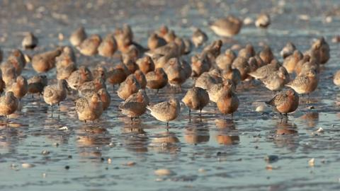 Red knots saw a steep drop in numbers in the late 1990s because of excessive harvesting of horseshoe crabs. The birds time their spring migration so they can fatten up on crab eggs.