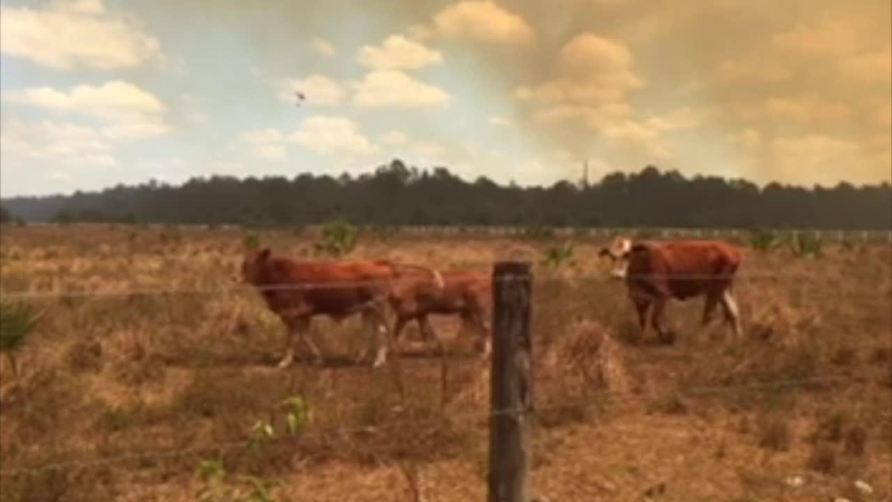Friday: Cows move away brush fire