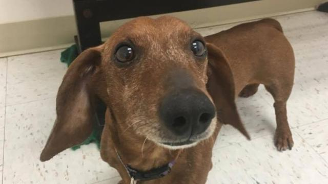This little Dashshund is ready to find his forever home. Check him out at the Cumberland Valley Animal Shelter.
