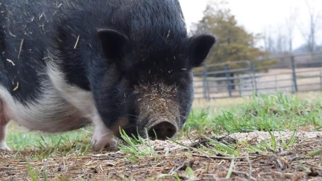 Lulu is a Pot Bellied Pig who was brought to the Adams County SPCA after a massive animal rescue from a Biglerville home in December 2016. Lindsey Welling, Evening Sun.