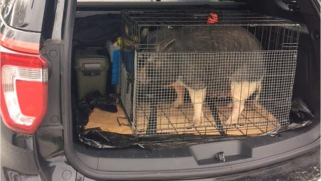 Southwestern Regional police captured a runaway pig after the pig attempted to enter a Spring Grove home.