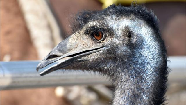 A jogger said he spotted an emu at York County's Rocky Ridge County Park in 2017. Two York Daily Record reporters went to search for the emu themselves.