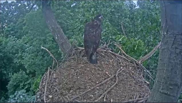 One of the Hanover eaglets fledged from the nest around 6:40 a.m. on Wednesday, June 7, 2017.