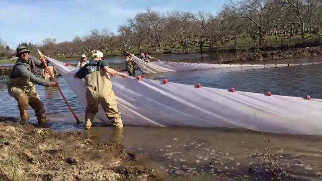 This March 14, 2017 video shows salmon and other fish were stranded in pools and sloughs after high water flows in the Sacramento River receded. Crews had been out capturing the stranded fish and returning them to the river.