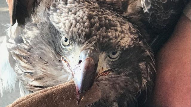 A bald eagle was shot to death in Tehama County. An advocate explains how it's illegal to harm the raptors.