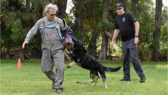 Bak, the Stuart Police Department's newest K-9 officer, is trained Wednesday, June 21, 2017, at the International K-9 College in Palm Beach Gardens.