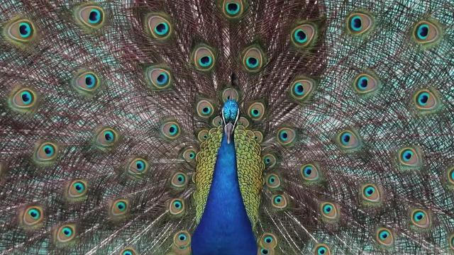 Video: The story of the Fort Pierce peacocks