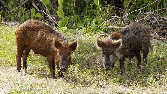 Texas Ag Commissioner Sid Miller's approval of Kaput Feral Hog Lure has hunters and conservationists concerned.