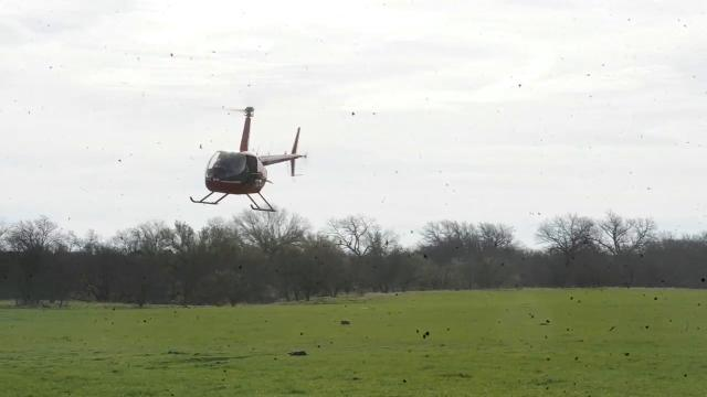 Feral Hogs hunted from helicopters help control the population, also poisoning hogs is discussed.