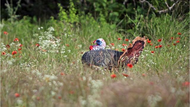 Mississippi hunter bags 'exceptionally rare' white turkey