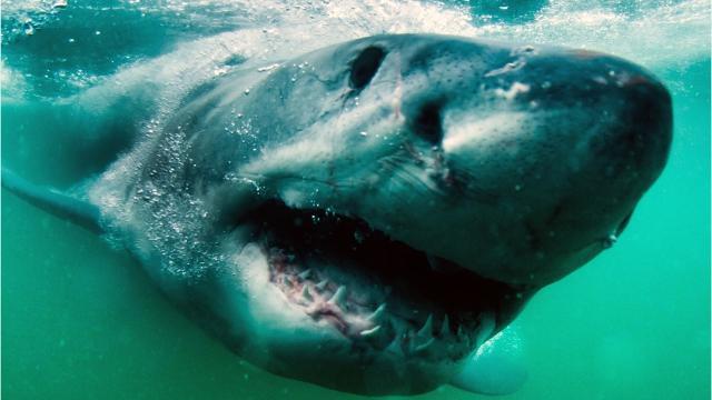 great white shark bites canoe off southern california coast