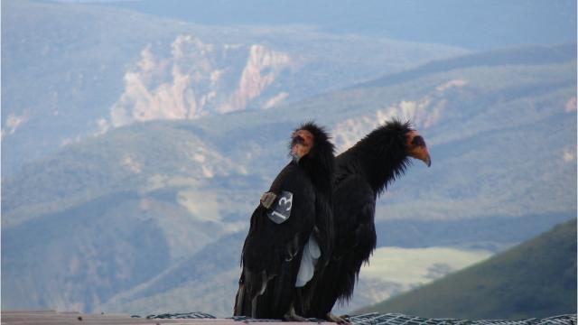 condor live chat